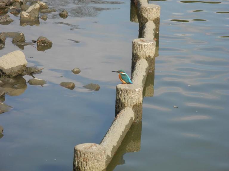 久宝寺緑地のカワセミ