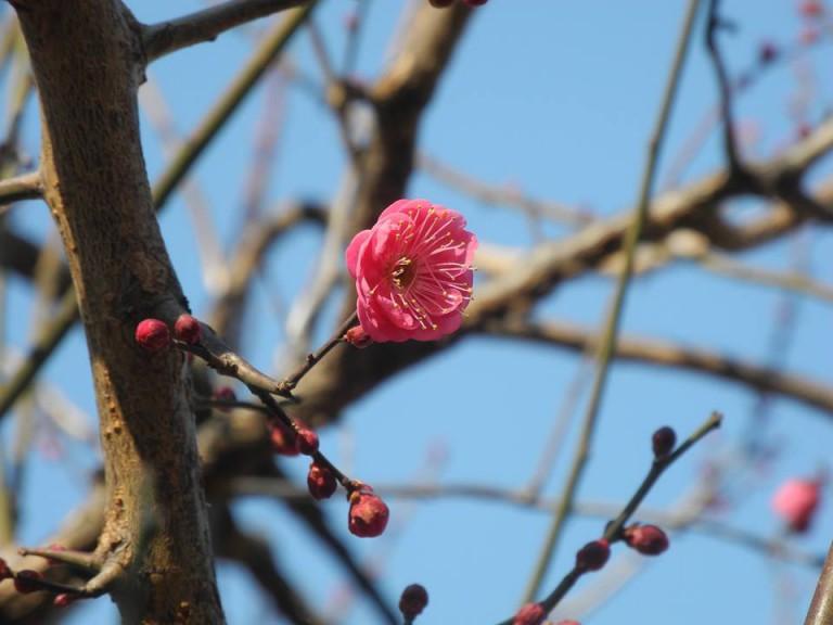 久宝寺緑地の梅