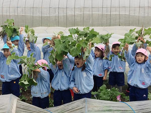 園児が若ごぼう収穫