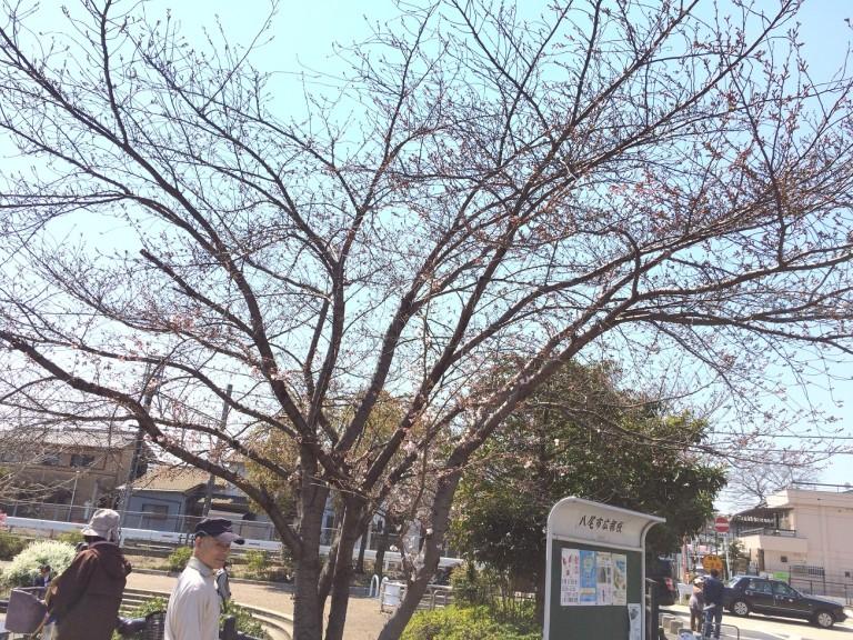 長瀬川桜並木